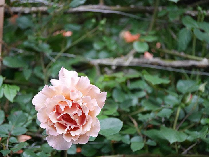 つるジュリア(Julia Climbing)の花が増えてきた。ツルバラ。2021年-103.jpg