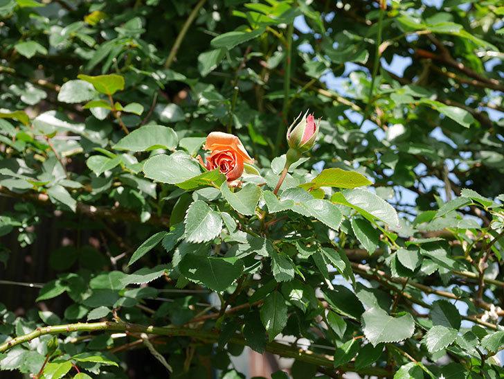つるジュリア(Julia Climbing)の花が少し咲いた。ツルバラ。2021年-001.jpg