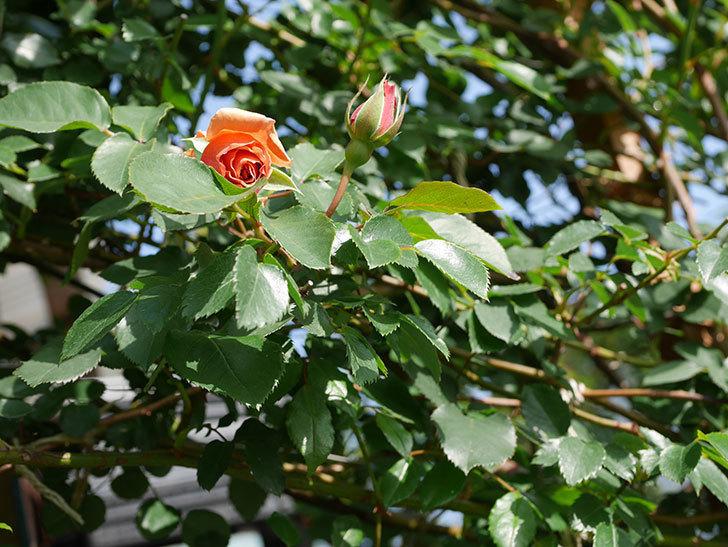 つるジュリア(Julia Climbing)の花が少し咲いた。ツルバラ。2021年-005.jpg
