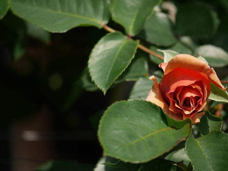 つるジュリア(Julia Climbing)の花が少し咲いた。ツルバラ。2021年-009.jpg