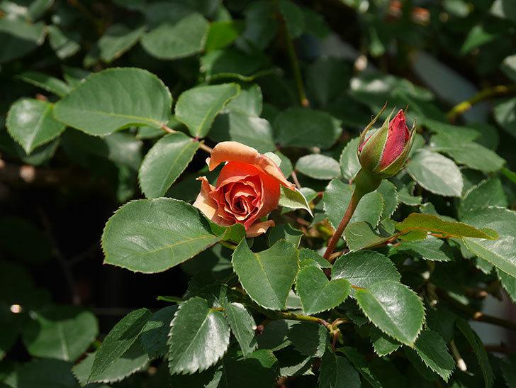 つるジュリア(Julia Climbing)の花が少し咲いた。ツルバラ。2021年-010.jpg