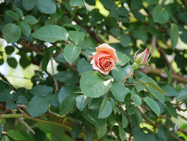 つるジュリア(Julia Climbing)の花が少し咲いた。ツルバラ。2021年-016.jpg