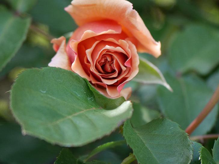 つるジュリア(Julia Climbing)の花が少し咲いた。ツルバラ。2021年-018.jpg