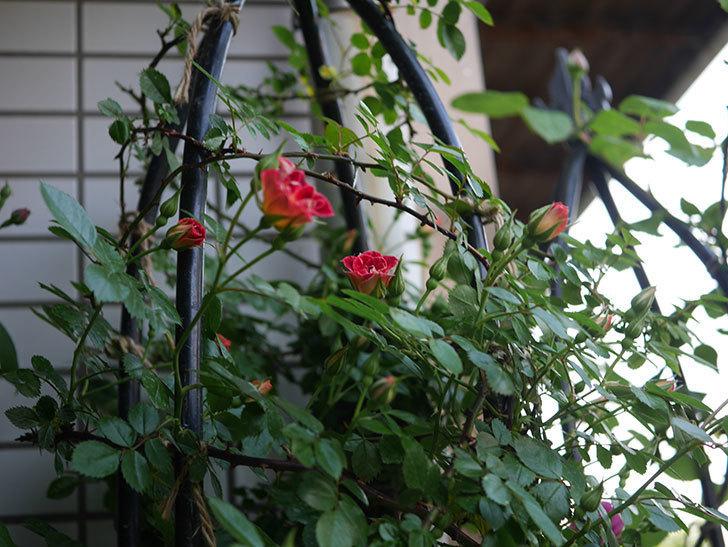 つるリトル・アーティスト(ツルミニバラ)の花が咲いた。2020年-10.jpg