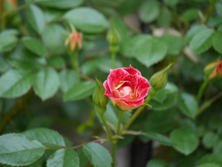 つるリトル・アーティスト(ツルミニバラ)の花が咲いた。2020年-3.jpg
