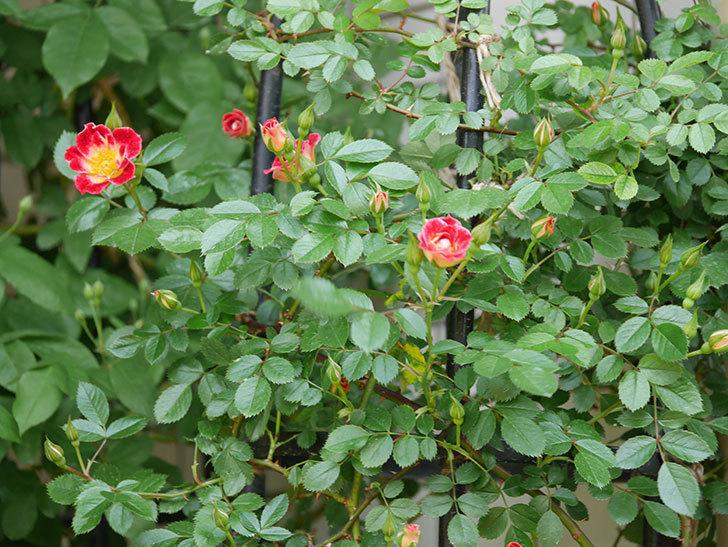つるリトル・アーティスト(ツルミニバラ)の花が咲いた。2020年-4.jpg
