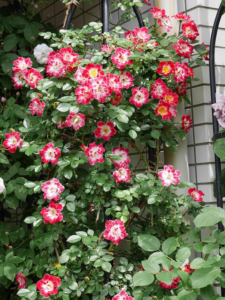 つるリトル・アーティスト(ツルミニバラ)の花が増えてきた。2020年-1.jpg
