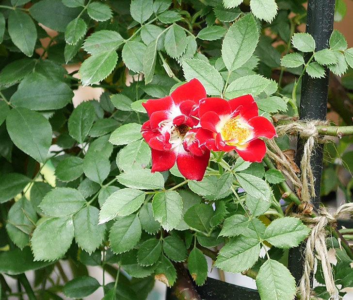 つるリトル・アーティスト(ミニバラ)の2番花が咲いた。2018年-1.jpg