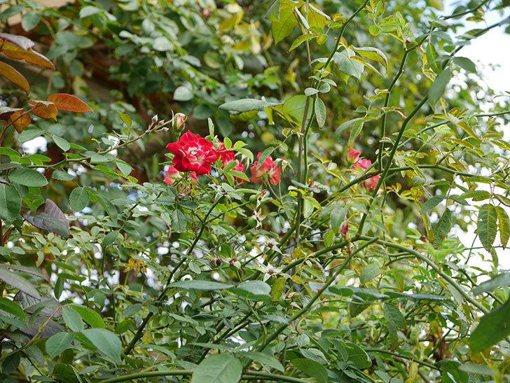 つるリトル・アーティスト(ミニバラ)の秋花が咲いた。2019年-2.jpg