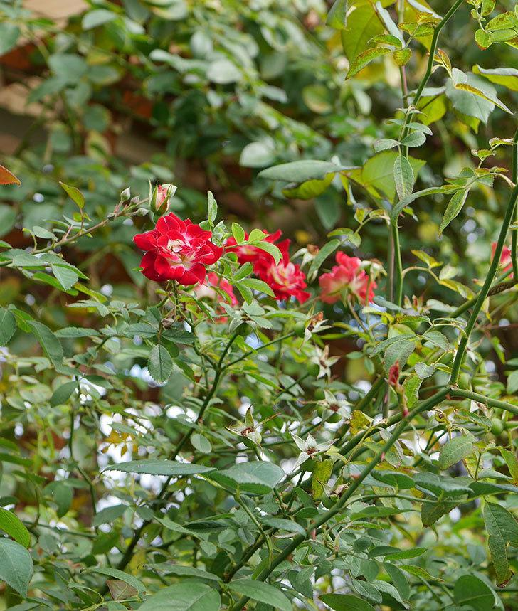 つるリトル・アーティスト(ミニバラ)の秋花が咲いた。2019年-4.jpg