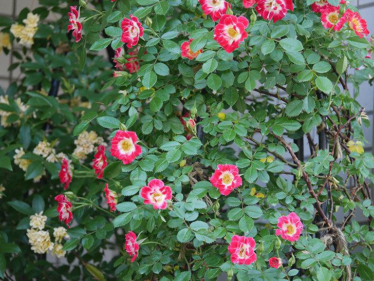 つるリトル・アーティスト(ミニバラ)の花がたくさん咲いた。2018年-2.jpg