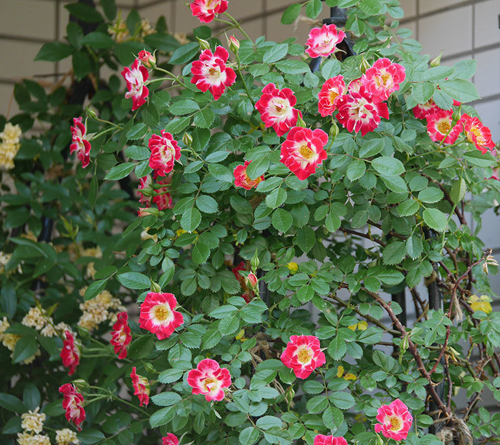 つるリトル・アーティスト(ミニバラ)の花がたくさん咲いた。2018年-4.jpg