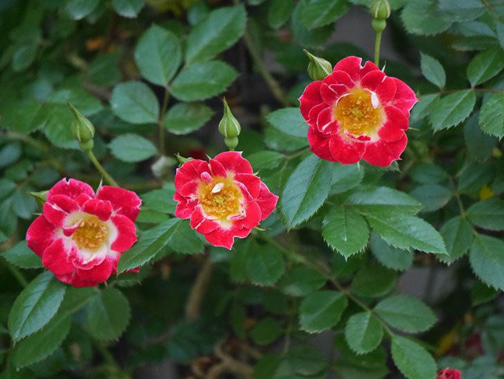 つるリトル・アーティスト(ミニバラ)の花がたくさん咲いた。2018年-6.jpg