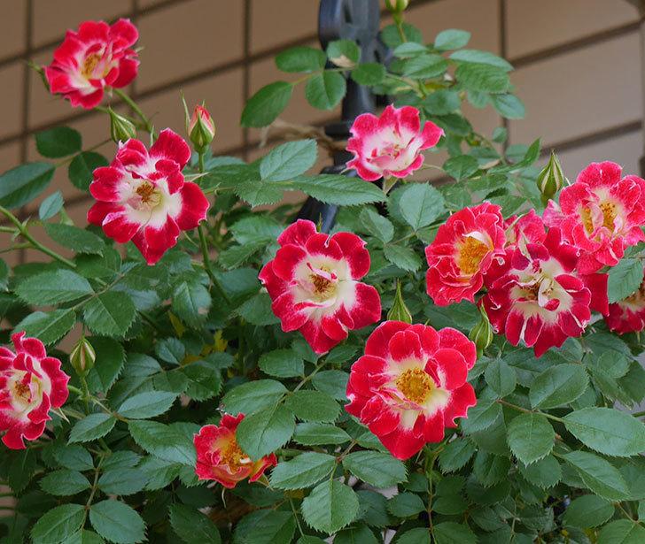 つるリトル・アーティスト(ミニバラ)の花がたくさん咲いた。2018年-8.jpg