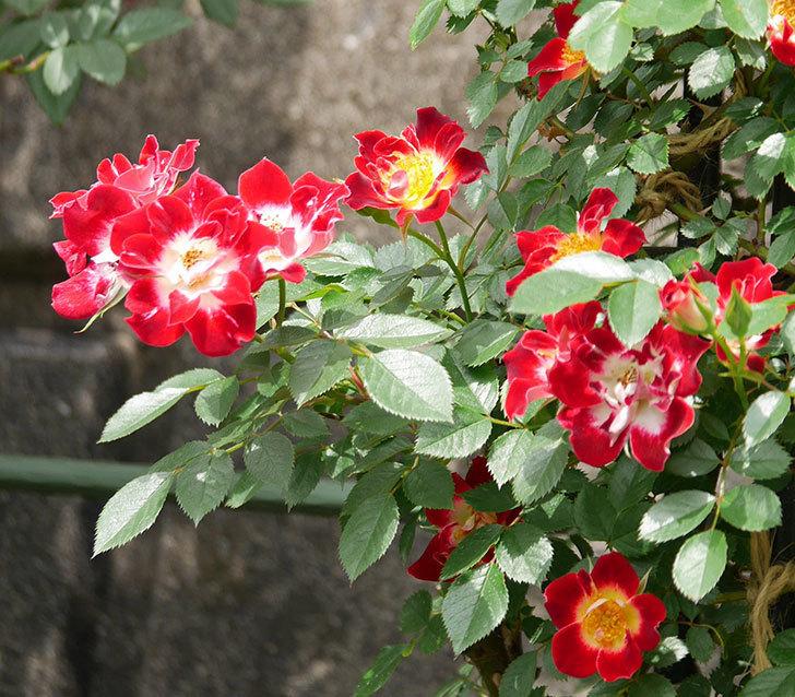 つるリトル・アーティスト(ミニバラ)の花がたくさん咲いた。2019年-3.jpg