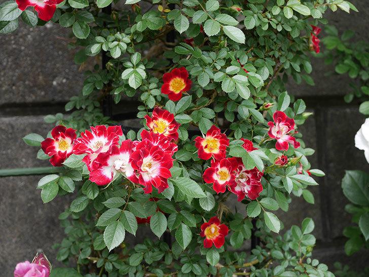 つるリトル・アーティスト(ミニバラ)の花がたくさん咲いた。2019年-6.jpg