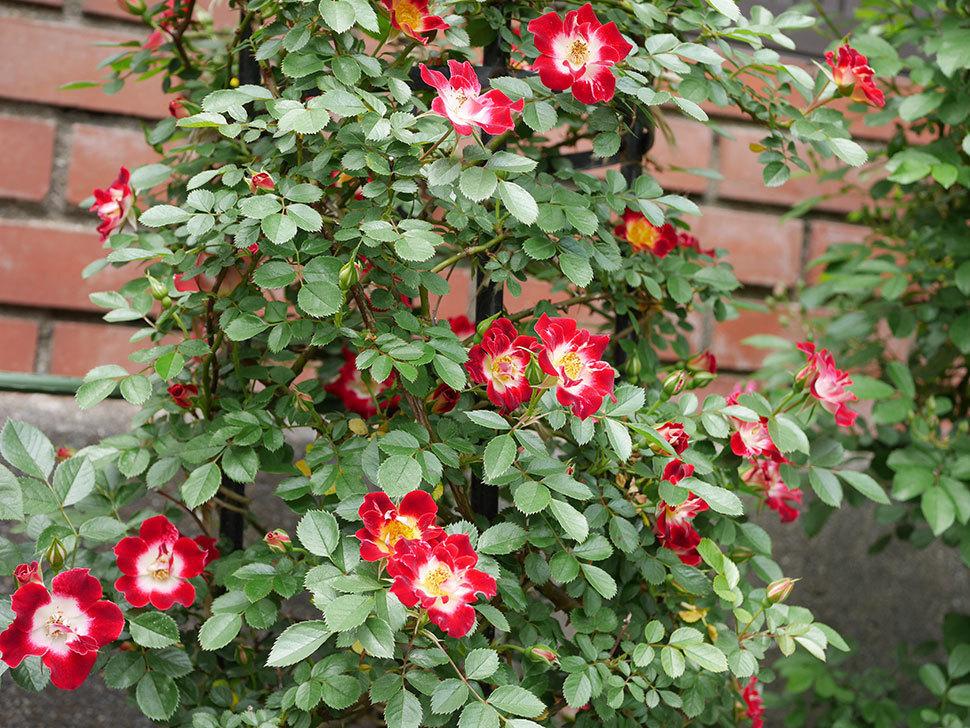 つるリトル・アーティスト(ミニバラ)の花がたくさん咲いた。2019年-7.jpg