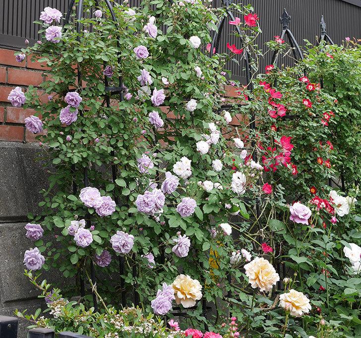 つるリトル・アーティスト(ミニバラ)の花がたくさん咲いた。2019年-9.jpg