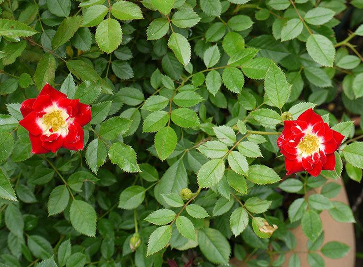 つるリトル・アーティスト(ミニバラ)の花が咲いた。2016年-2.jpg