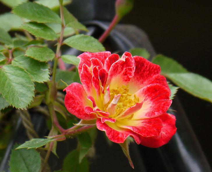 つるリトル・アーティスト(ミニバラ)の花が咲いた。2017年-10.jpg