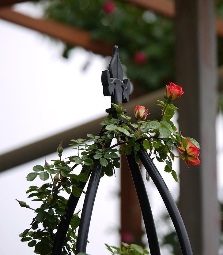 つるリトル・アーティスト(ミニバラ)の花が咲いた。2017年-14.jpg