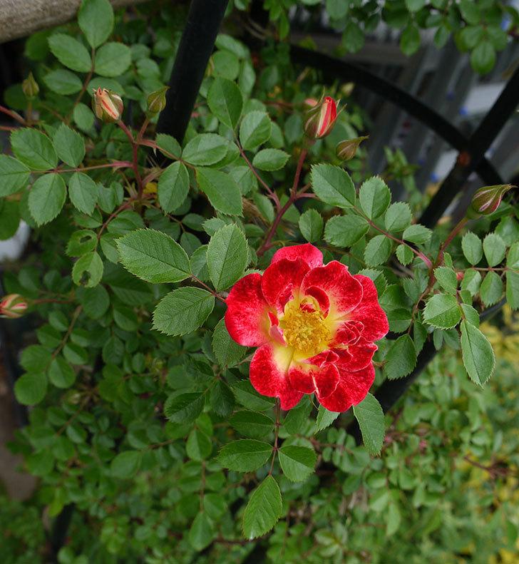 つるリトル・アーティスト(ミニバラ)の花が咲いた。2017年-15.jpg