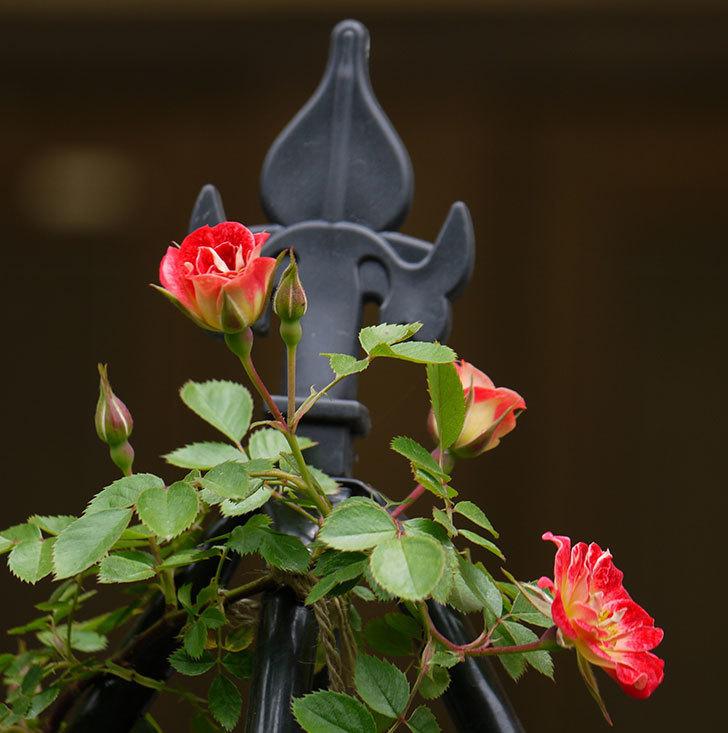 つるリトル・アーティスト(ミニバラ)の花が咲いた。2017年-2.jpg