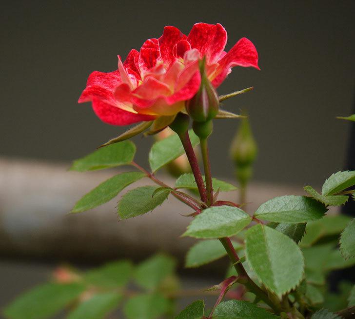 つるリトル・アーティスト(ミニバラ)の花が咲いた。2017年-3.jpg