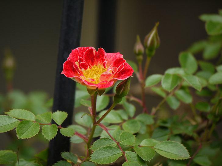つるリトル・アーティスト(ミニバラ)の花が咲いた。2017年-4.jpg