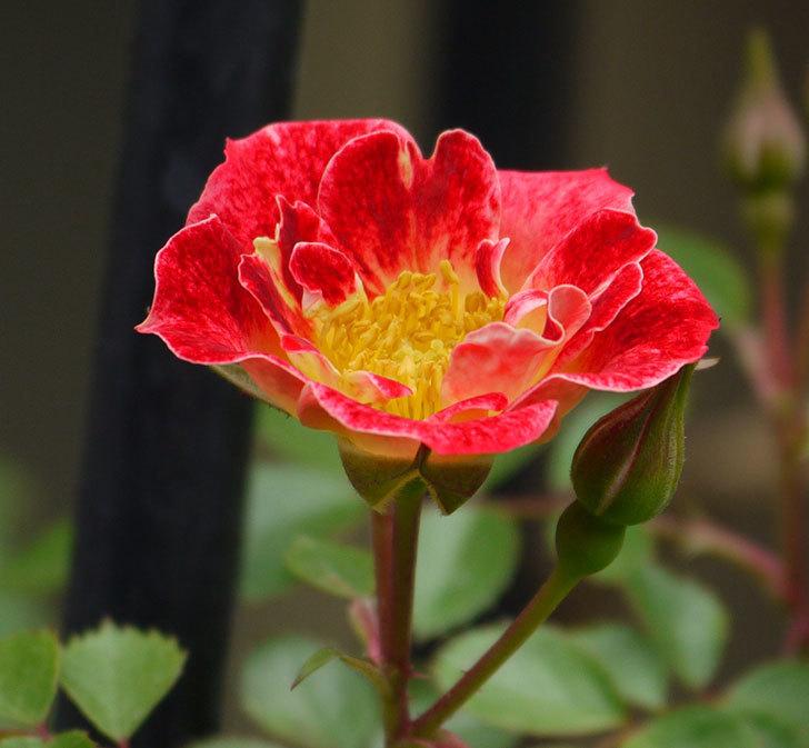 つるリトル・アーティスト(ミニバラ)の花が咲いた。2017年-5.jpg