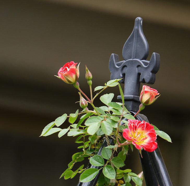 つるリトル・アーティスト(ミニバラ)の花が咲いた。2017年-9.jpg