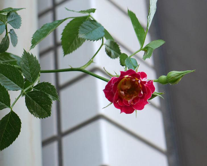 つるリトル・アーティスト(ミニバラ)の花が咲いた。2018年-3.jpg