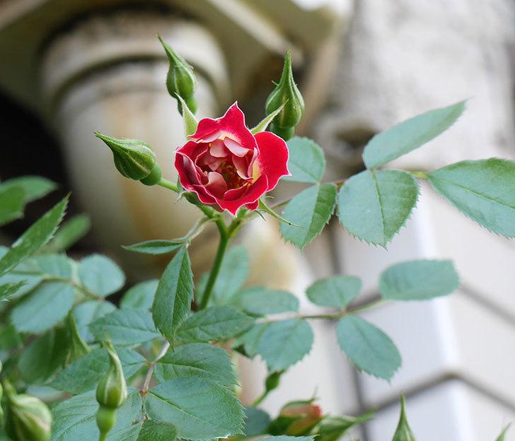 つるリトル・アーティスト(ミニバラ)の花が咲いた。2018年-4.jpg