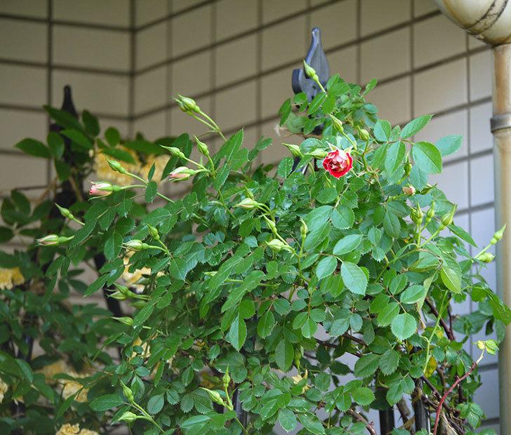 つるリトル・アーティスト(ミニバラ)の花が咲いた。2018年-8.jpg