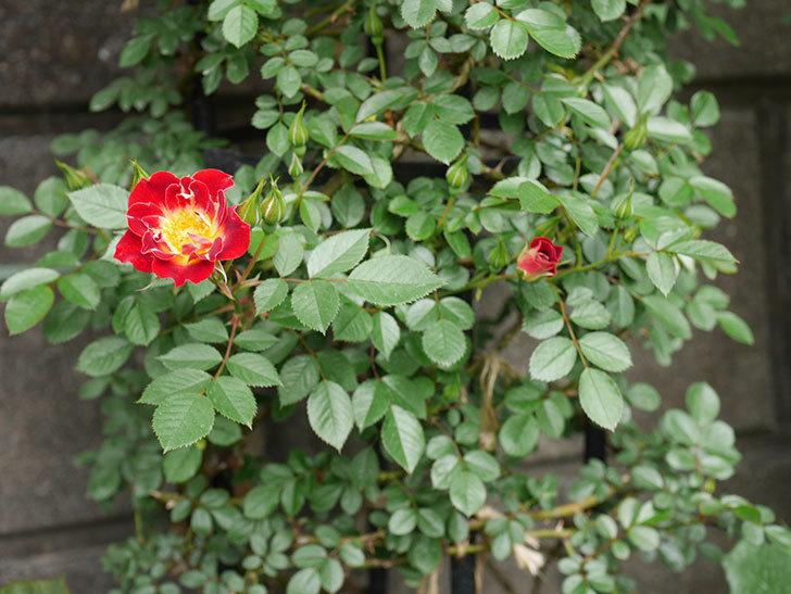 つるリトル・アーティスト(ミニバラ)の花が咲いた。2019年-2.jpg