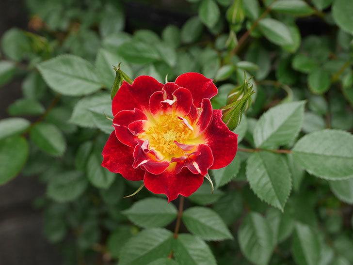 つるリトル・アーティスト(ミニバラ)の花が咲いた。2019年-4.jpg