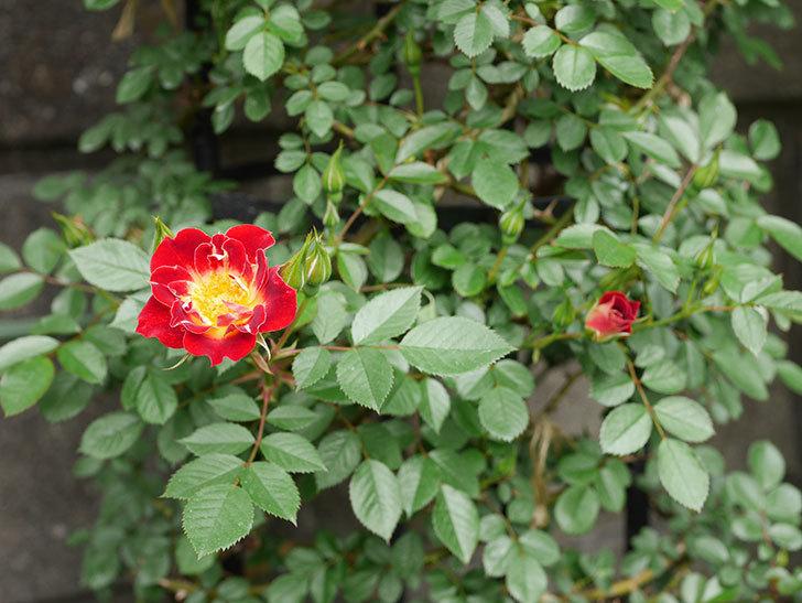 つるリトル・アーティスト(ミニバラ)の花が咲いた。2019年-6.jpg