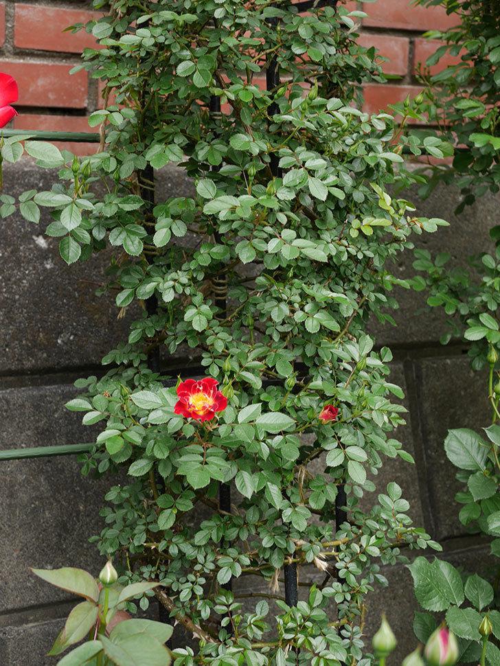 つるリトル・アーティスト(ミニバラ)の花が咲いた。2019年-7.jpg