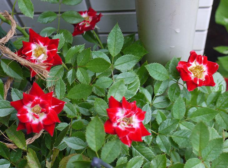 つるリトル・アーティスト(ミニバラ)の花が増えてきた。2016年-1.jpg