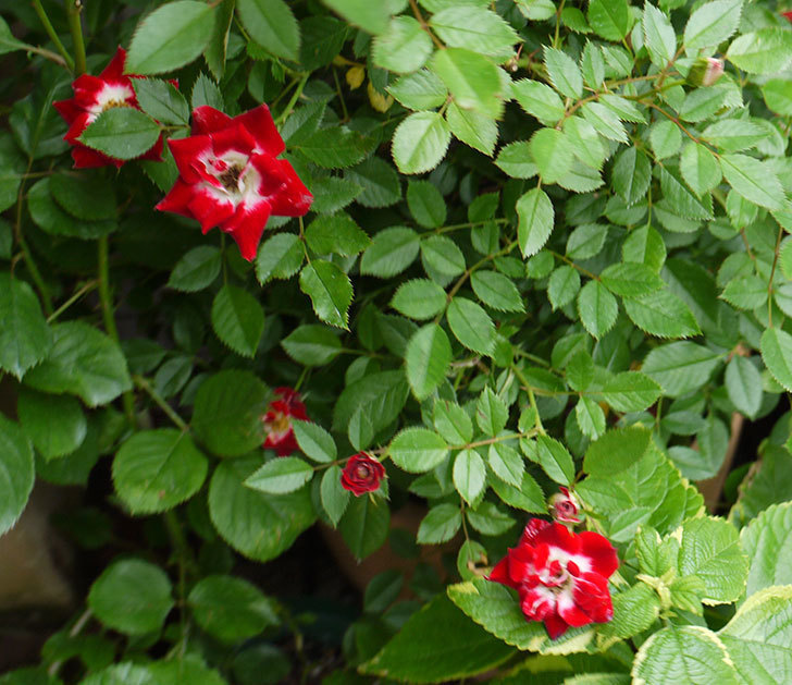 つるリトル・アーティスト(ミニバラ)の花が増えてきた。2016年-2.jpg