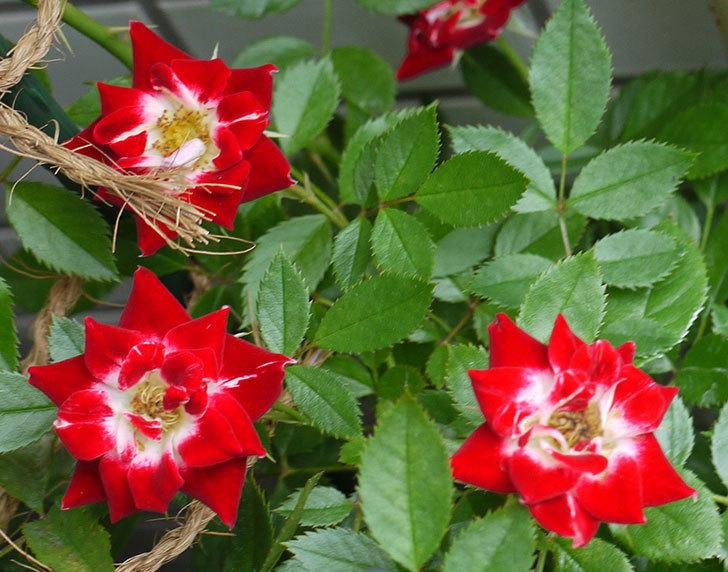 つるリトル・アーティスト(ミニバラ)の花が増えてきた。2016年-3.jpg