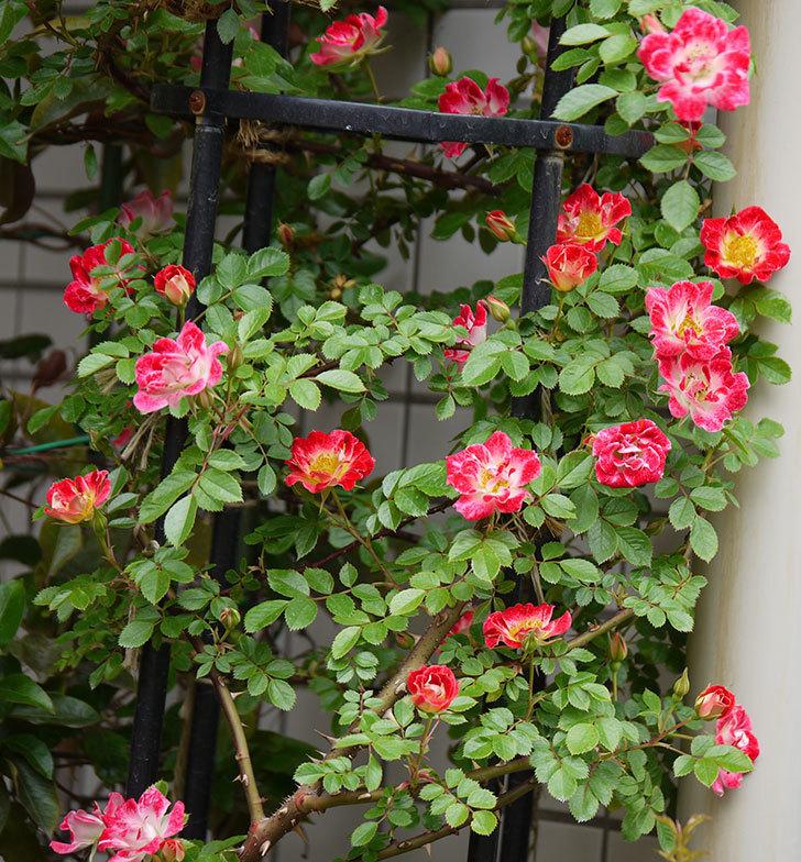 つるリトル・アーティスト(ミニバラ)の花が増えてきた。2017年-1.jpg