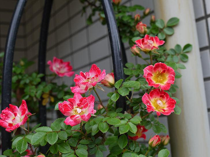 つるリトル・アーティスト(ミニバラ)の花が増えてきた。2017年-6.jpg