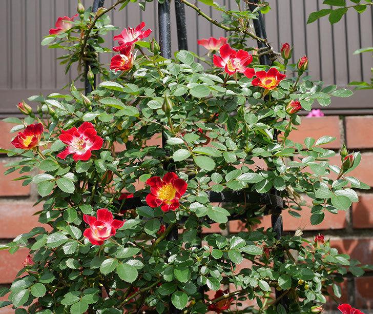 つるリトル・アーティスト(ミニバラ)の花が増えて来た。2019年-1.jpg