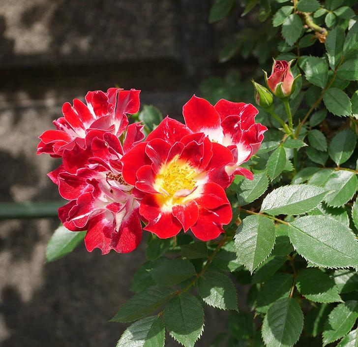 つるリトル・アーティスト(ミニバラ)の花が増えて来た。2019年-2.jpg