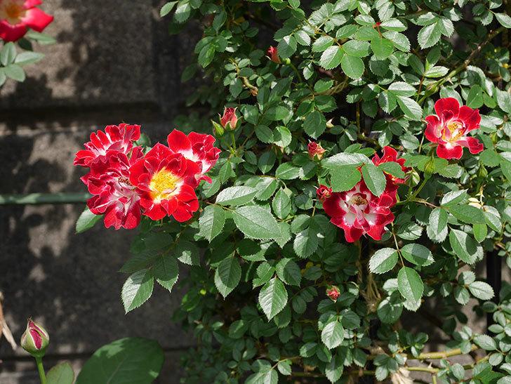 つるリトル・アーティスト(ミニバラ)の花が増えて来た。2019年-3.jpg