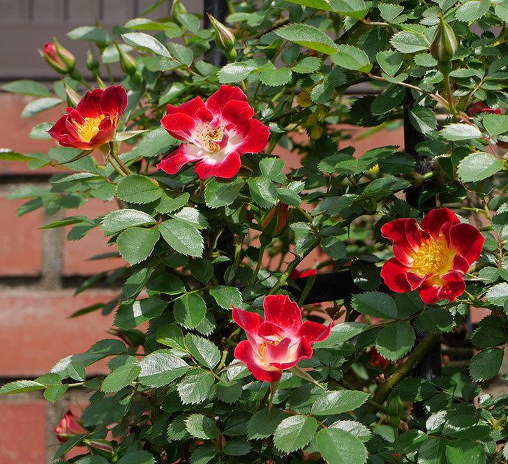 つるリトル・アーティスト(ミニバラ)の花が増えて来た。2019年-4.jpg