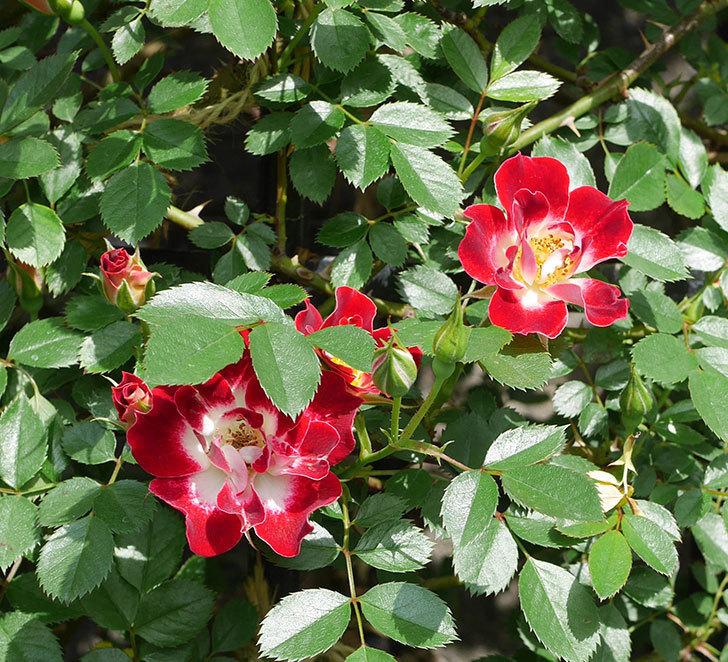 つるリトル・アーティスト(ミニバラ)の花が増えて来た。2019年-6.jpg