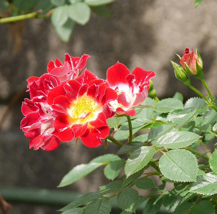 つるリトル・アーティスト(ミニバラ)の花が増えて来た。2019年-7.jpg