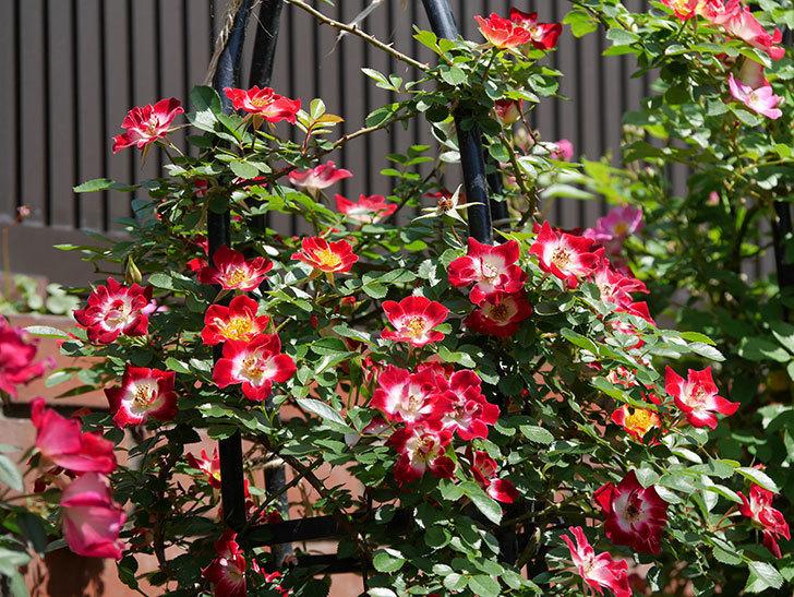 つるリトル・アーティスト(ミニバラ)の花が満開になった。2019年-11.jpg